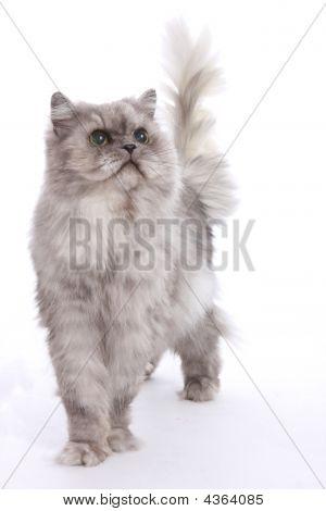 ein grau persischen Standing gestellt