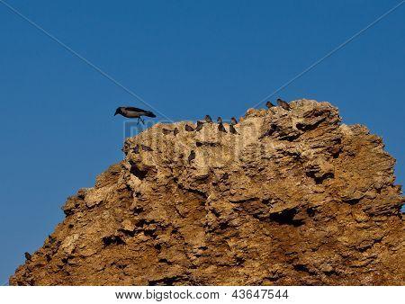 jump crows