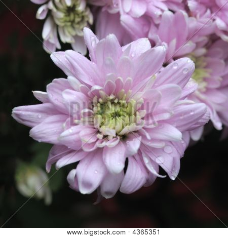 Pink Chrysanthemum.
