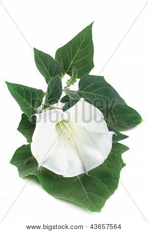 Datura is isolated on white
