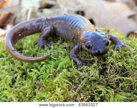 Northwestern Salamander on Moss