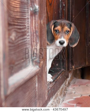 Portrait Of A Cute Beagle Puppy Sitting On Doorstep