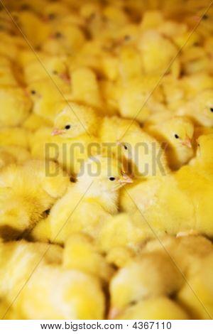 Gelbe Hühner