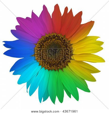 Open blossom of sunflower colored rainbow