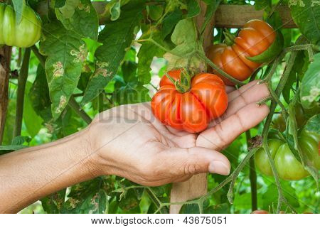 The Man Hand Picking A Tomato On Branch Tree.