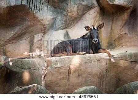 Antelope Sumatran Serow