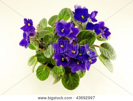 African Violet Flower And Green Leaves In Pot