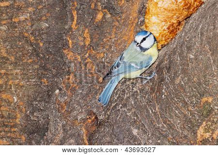Great Tit On A Tree