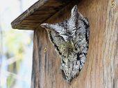 stock photo of screech-owl  - An Eastern Screech - JPG