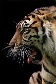 stock photo of tigers-eye  - Sumatran Tiger growling with mouth wide open - JPG
