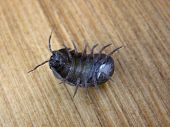 stock photo of woodlouse  - Pill bug - Armadillidium vulgare roly-poly lying on its back