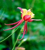 pic of columbine  - Close up view of columbine flower in garden with blurry background - JPG