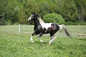picture of paint horse  - Paint horse stallion running freely on green background - JPG