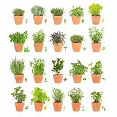 picture of hyssop  - Large herb selection growing in terracotta pots with leaf sprigs over white background - JPG