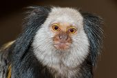 stock photo of marmosets  - Four Geoffroy - JPG