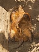 foto of armadillo  - Sleeping armadillo  - JPG