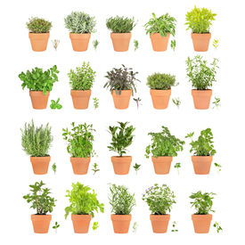 stock photo of feverfew  - Large herb selection growing in terracotta pots with leaf sprigs over white background - JPG