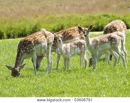 Deer Grazing In A Meadow