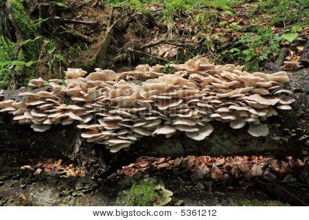 Oyster Mushrooms (pleurotus Ostreatus) On Tree
