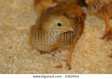 braun Baby chick