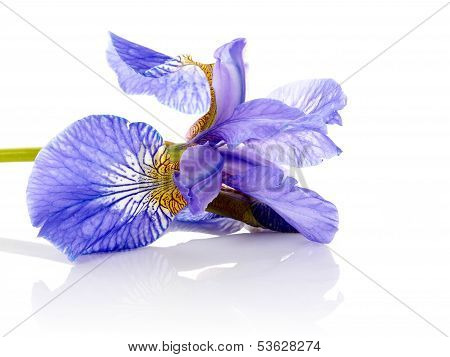 Flower Of A Blue Iris.