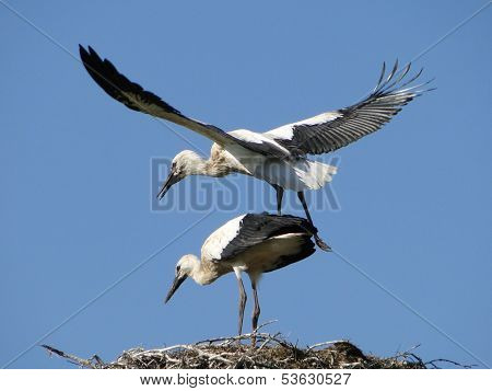 Flight exercises young storks