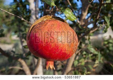 Pomegranate tree in sicily, italy