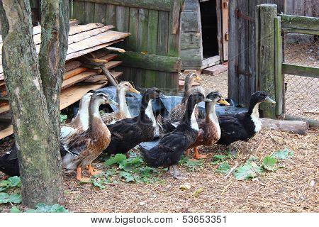 Flight of ducks