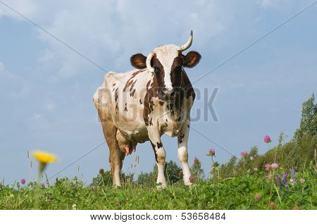 The Cow Walks On A Meadow