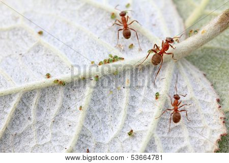 Mercerized Brown Forest Ants And Aphid