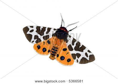 Garden Tiger Moth Over White