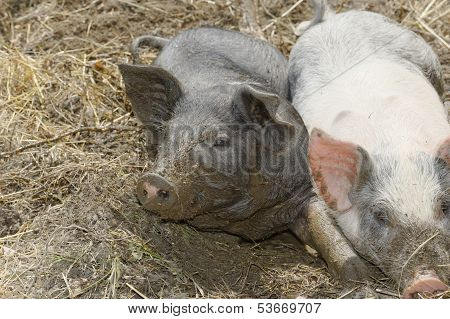 Farm Animals (pigs)