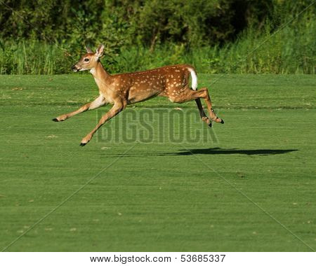 Spotted Fawn leaping off golf course