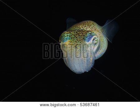 Bobtailed squid