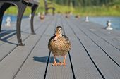 stock photo of duck pond  - Duck quacks and looks at the photographer - JPG