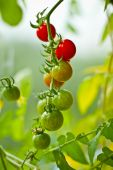 stock photo of tomato plant  - Fresh green ripe tomatoes on the plant - JPG