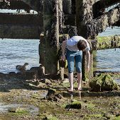 stock photo of unawares  - A wild Sea Otter searches for food whilst a young man examines a rockpool completely unaware of the Otter - JPG