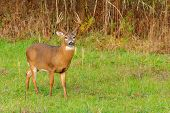 stock photo of deer rack  - Whitetail Deer Buck standing in a field - JPG