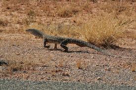 picture of goanna  - Big goanna perentie from australias desert outback - JPG