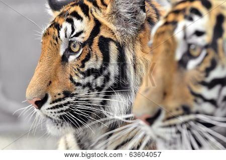 Bengal Tiger Face