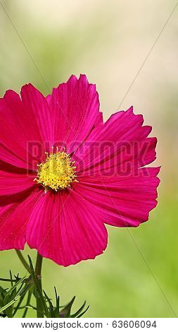 cosmos flower on a green background