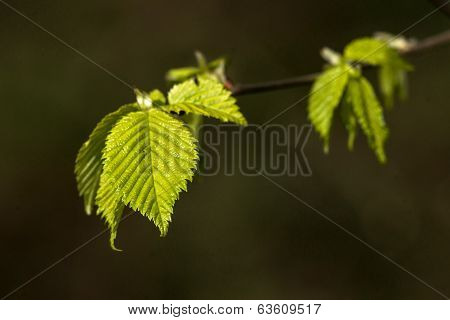 Beech Leaves On A Dark Green Background
