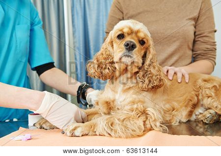 veterinarian surgeon worker making medical examination blood test of dog in veterinary surgery clinic