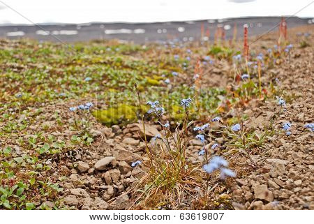Forget-me-nots Among The Stones