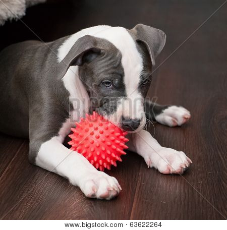 White and Grey Pitbull laying down with toy