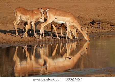 Impala antelopes (Aepyceros melampus) drinking water, Pilanesberg National Park, South Africa