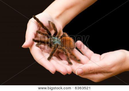Avicularia Versicolor. Bird Spider