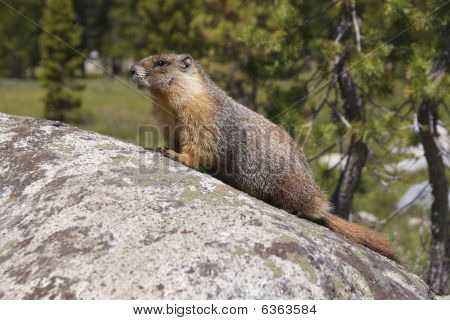Yellow-bellied marmot sitting on a rock
