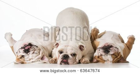 three english bulldogs isolated on white background