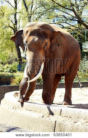 Male Elephant At The Zoo In The Spring
